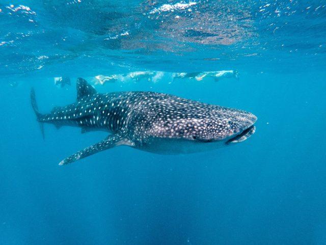 Nadar con tiburones ballena, Islas Maldivas