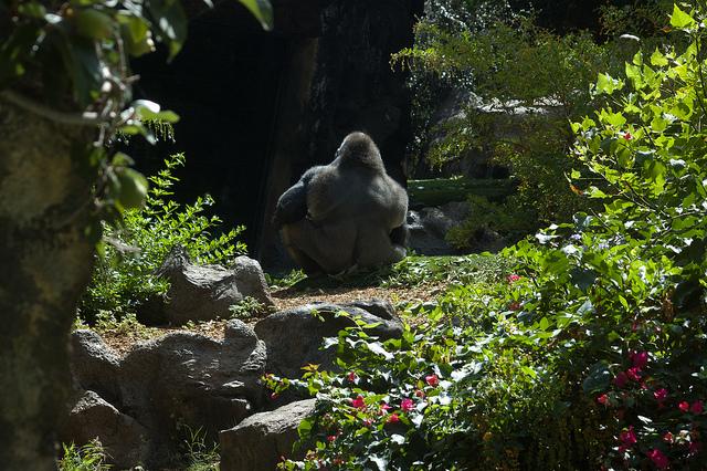 Loro Parque - Gorila