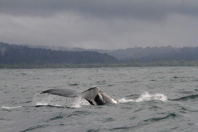 Ballenas Jorobadas Colombia Pacífico Biodiversidad Naturaleza-min-min-min