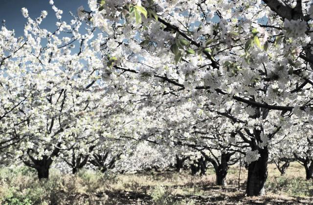 Cerezos en flor, Valle del Jerte, Cáceres. Extremadura