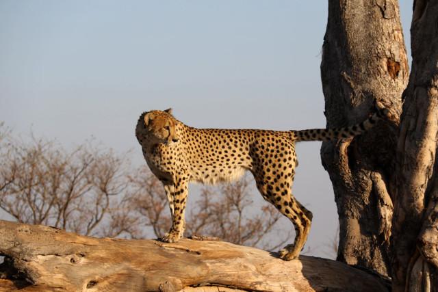 cheetach