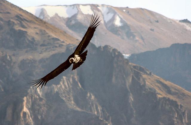 L2F pic Peru Arequipa Colca condor gudi&cris