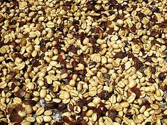 L2F Oct 14 pic coffee Panama Finca Lerida Panama fveronesi1