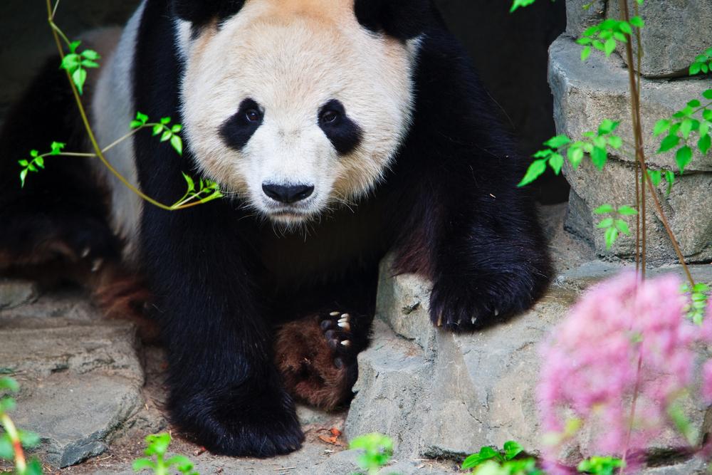 USA Washington DC National Zoo panda davegkugler shutterstock_25999189
