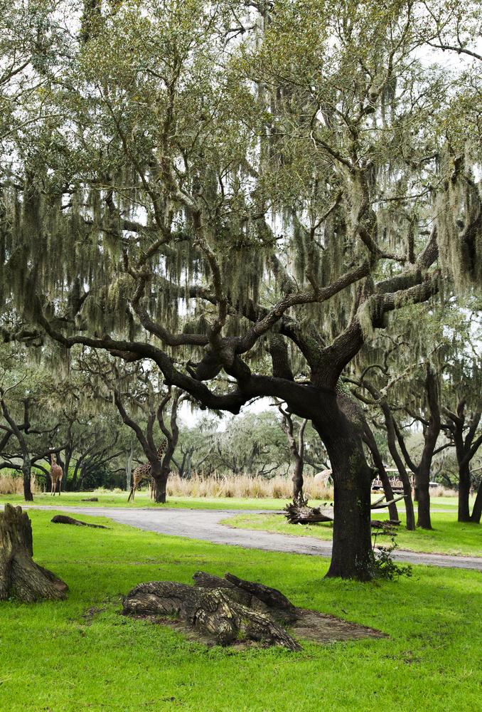 USA Florida Orlando live oak Spanish moss legenda shutterstock_180711167