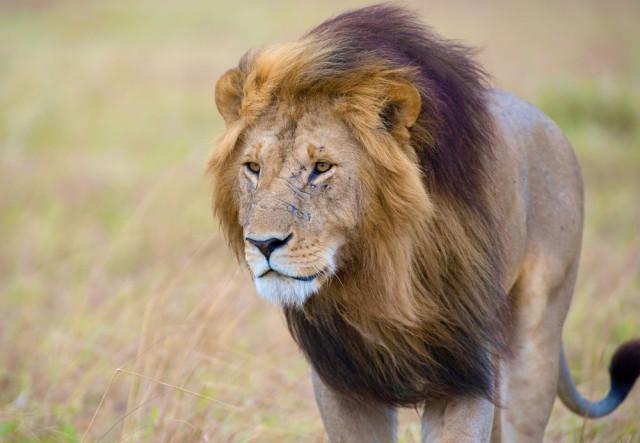 South Africa Kruger National Park lion sivanadar shutterstock_318557714