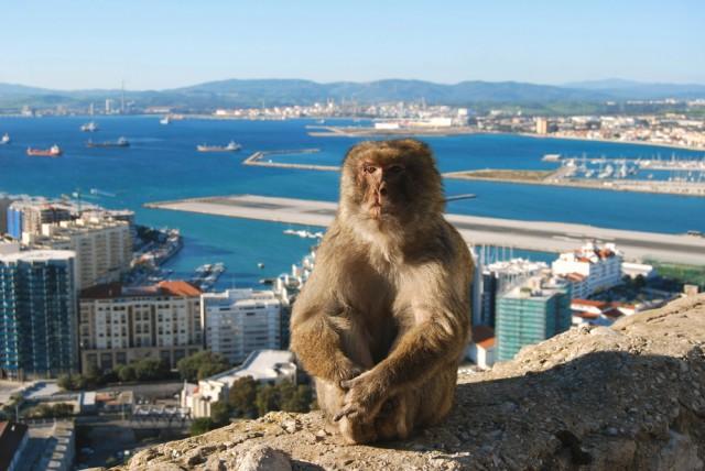 Gibraltar macacque Barbary Ape Scott Latham shutterstock_250663204
