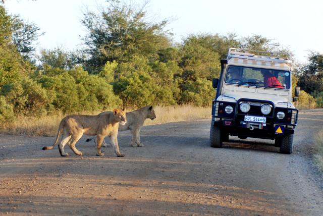 South Africa Kruger National Park safaris lions on road meunierd shutterstock_140027923