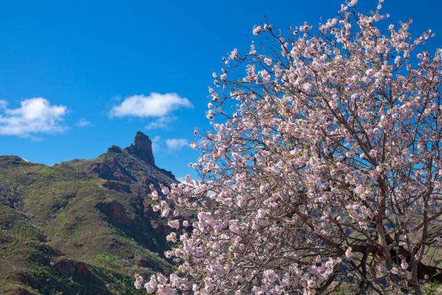 Spain Canary Islands Gran Canaria almond trees Tamara Kulikova shutterstock_323532290