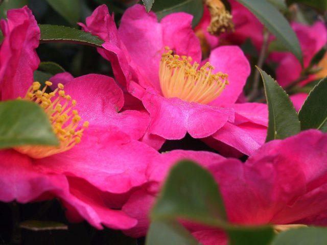 L2F Feb 17 pic Japan Izu Islands camellias Wikipedia