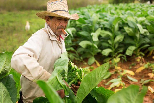 L2F Apr 17 pic Cuba Pinar del Rio Vuelta Abajo tabacco worker