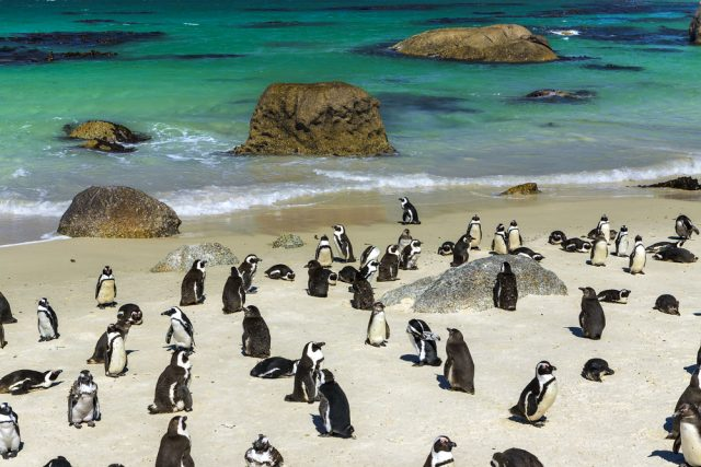 L2F Apr 17 pic South Africa Simons Town penguins
