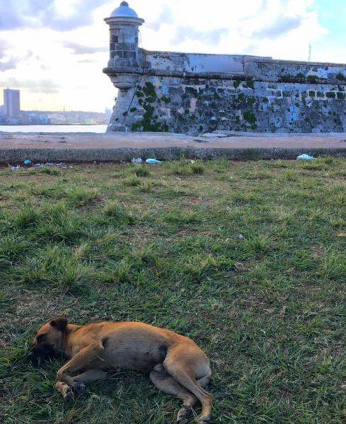 L2F Jun 17 pic Cuba Havana street dogs lying at La Cabaña