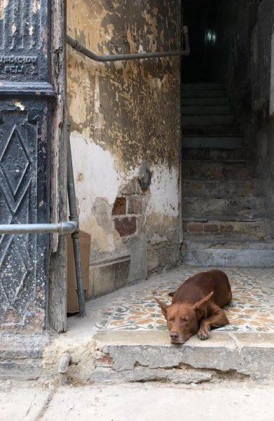 L2F Jun 17 pic Cuba Havana street dogs lying in doorway