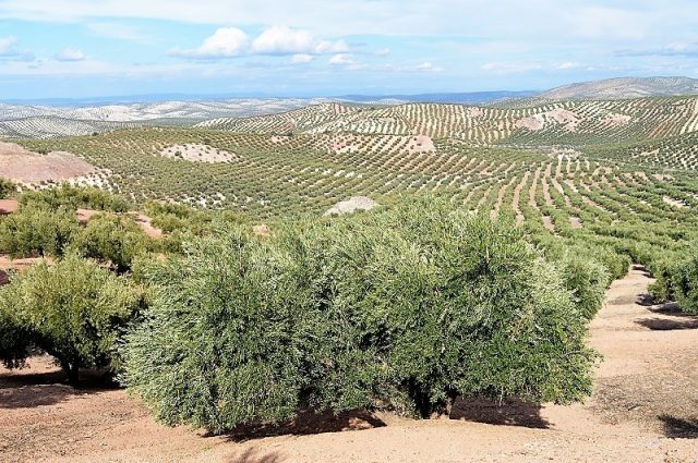 L2F Jan 18 pic Spain Andalusia Jaén Cazorla olive trees