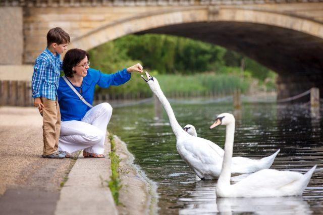 L2F Feb 18 pic UK England London parks Hyde Park swans shutterstock_163206497