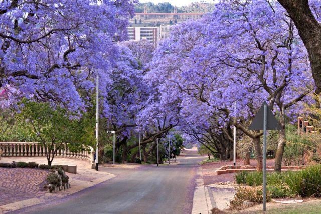 L2F Jun 18 pic South Africa Pretoria jacaranda shutterstock_63478216