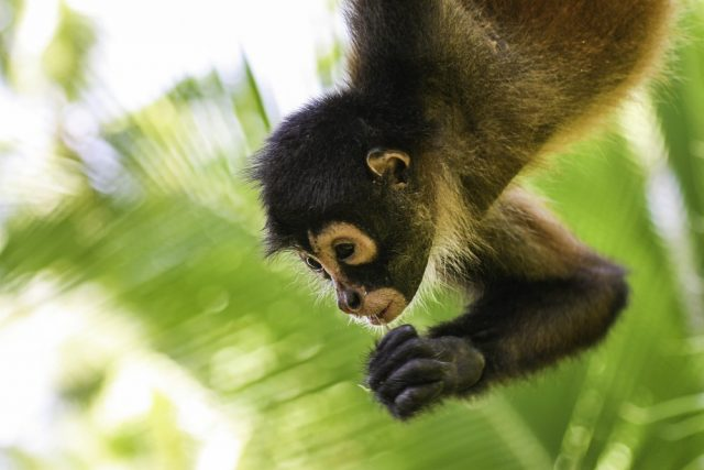 L2F May 18 pic Costa Rica Osa spider monkey shutterstock_613511711
