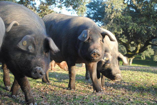 L2F Jul 18 pic Spain ham cerdo iberico Wikipedia