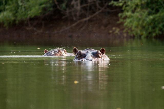 Curious hippo in the Gambia River near Niokolo-Koba National Park in Senegal, West Africa