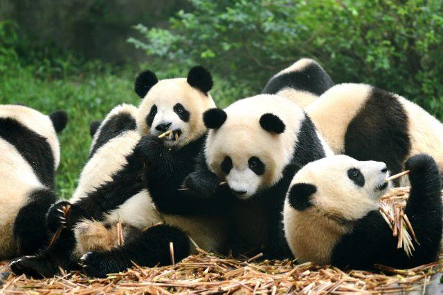 Group of giant panda eating bamboo Chengdu, China