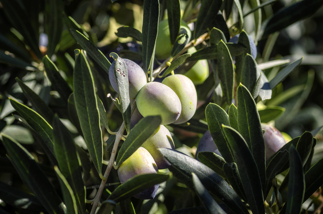 Fruits of olives hanging on a tree.