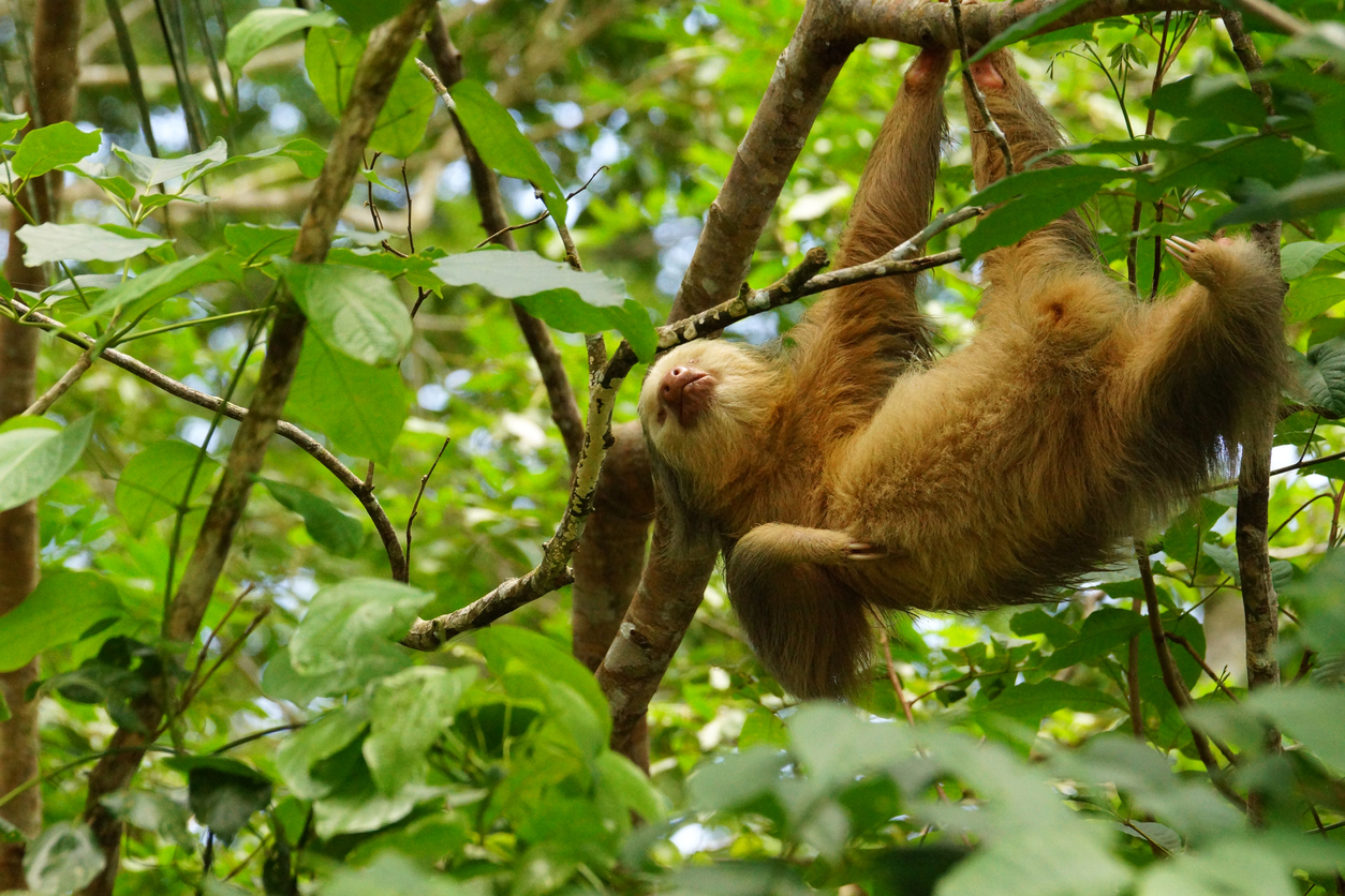 Name: Hoffmann's two-toed sloth