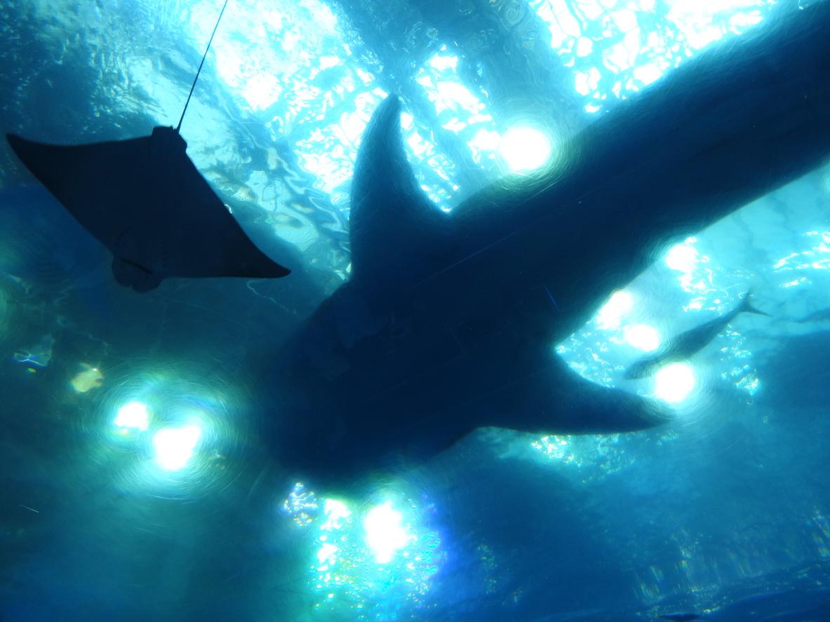 実際の沖縄でマンタとジンベイザメを海中から見上げたフォトグラム、海の神秘、壮大なスケールをイメージしました。