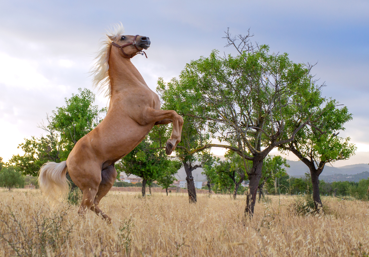 rearing powerful andalusian stallion in front of olive trees