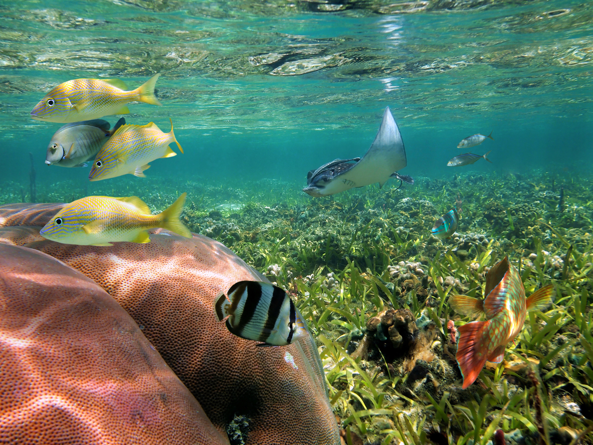 Tropical fish and coral on shallow seabed with an eagle ray close to sea surface