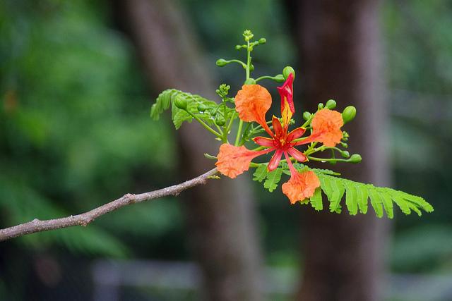Flamboyan Tree at Casa de Amistad - Vieques, PR