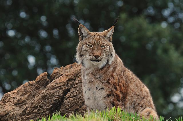 Iberic lynx / Lince Ibérico
